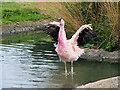 SO7204 : Andean Flamingo at WWT Slimbridge by David Dixon