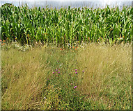 SS9907 : Cullompton: field of maize by Martin Bodman