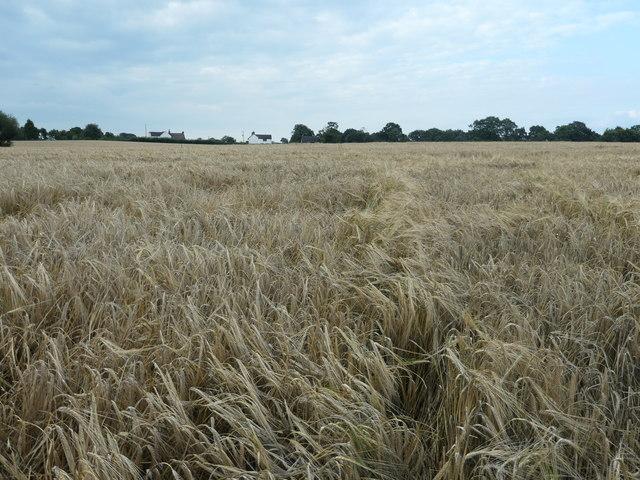 Barley field between Yoxall Road and Green Lane
