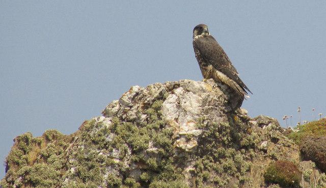 Peregrine falcon near Long Stone