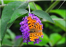 ST8180 : Comma Butterfly, Acton Turville, Gloucestershire 2019 by Ray Bird
