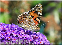 ST8180 : Painted Lady Butterfly, Acton Turville, Gloucestershire 2019 by Ray Bird