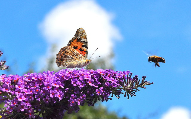 Painted Lady Butterfly and Bee, Acton Turville, Gloucestershire 2019