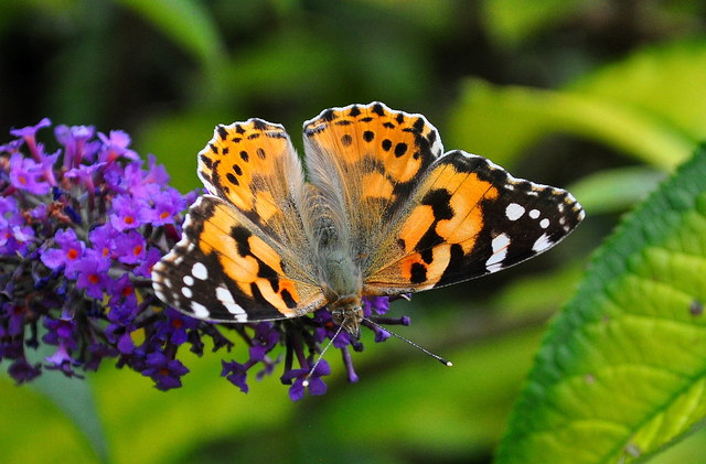 Painted Lady Butterfly, Acton Turville, Gloucestershire 2019