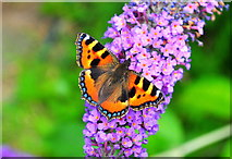ST8180 : Small Tortoiseshell Butterfly, Acton Turville, Gloucestershire 2019 by Ray Bird