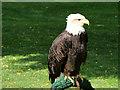 SO7023 : ICBP, Bald Eagle in the Hawk Walk by David Dixon