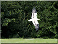 SO7023 : Egyptian Vulture Flying at the International Centre for Birds of Prey by David Dixon