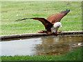 SO7023 : ICBP Flying Display, Brahminy Kite Swooping for Food by David Dixon