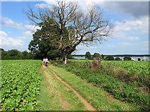 TM2844 : Waldringfield: sugar beet and a dead tree by John Sutton