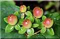 J4682 : Tutsan berries, Crawfordsburn Country Park - August 2019(1) by Albert Bridge