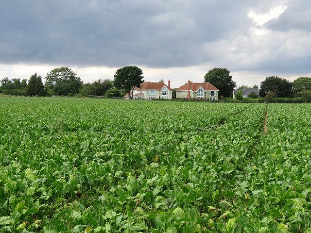Waldringfield: sugar beet and rainclouds