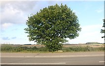 SK9233 : Tree on Great North Road south of Grantham by David Howard