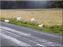 NY6313 : Lambs beside the B6260 by Oliver Dixon