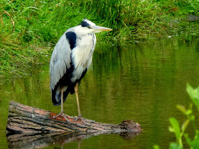 Heron perched on a log, Omagh