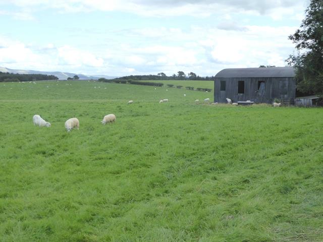 Field with sheep and barn