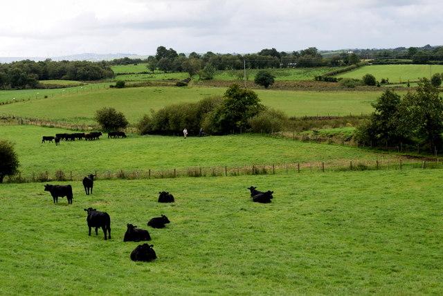 Cattle, Bracky