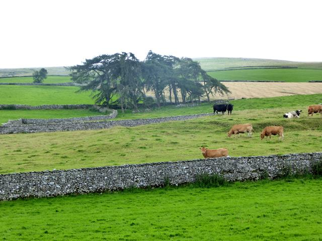 Fields and cattle beside Sayle Lane