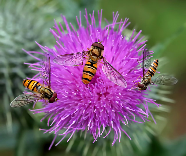 Hoverflies on a thistle head