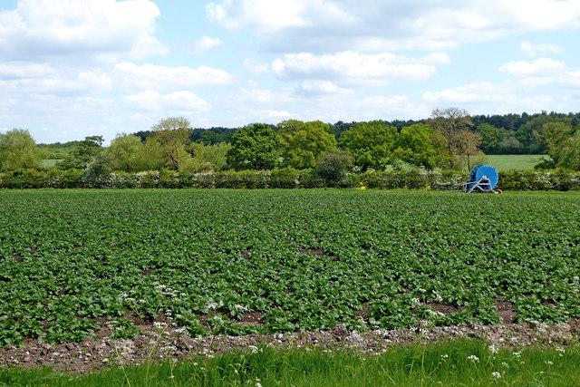 Potato field near Fradley Junction in Staffordshire