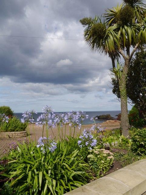 Agapanthus flowering at Bayswell Park Dunbar
