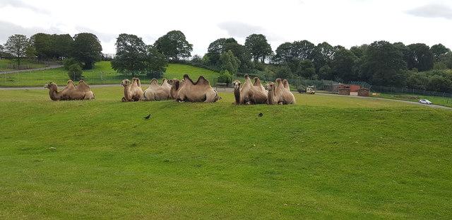 Camels at West Midlands Safari Park