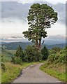 NC6703 : Scots Pine by the roadside by valenta