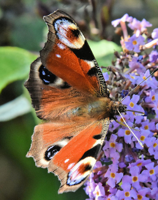 Peacock butterfly, Belfast harbour (August 2019)