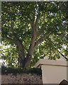 SX9073 : Bark and foliage of a walnut tree over West Street, Bishopsteignton by Robin Stott