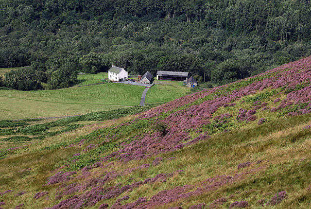 A heather hillside at Fastheugh