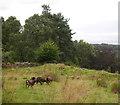 NH4239 : Soay sheep, by Easter Main by Craig Wallace