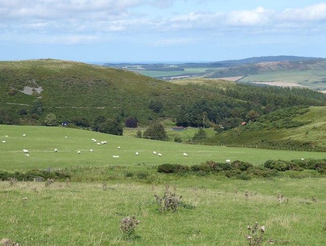 Sheep in pasture sloping down towards Humbleton Burn