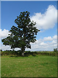 ST7981 : Tree in hedgerow near Acton Turville by JThomas