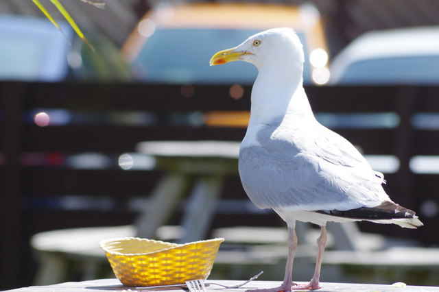 Lunch for a gull