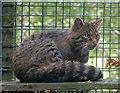 NH8003 : RZSS HWP - Scottish Wildcat - Felis silvestris silvestris by Rob Farrow