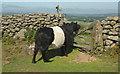 SX7682 : Belted Galloway, Hunter's Tor by Derek Harper