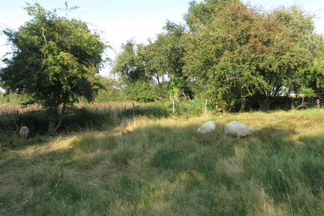 Sheep in the Ramsden Corner nature reserve
