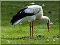 SD4314 : White Stork (Ciconia ciconia) by David Dixon