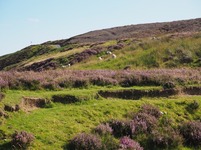 Sheep in the Heather at Johnscleugh