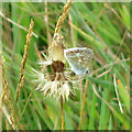 TQ0593 : Common blue butterfly by Mike Quinn