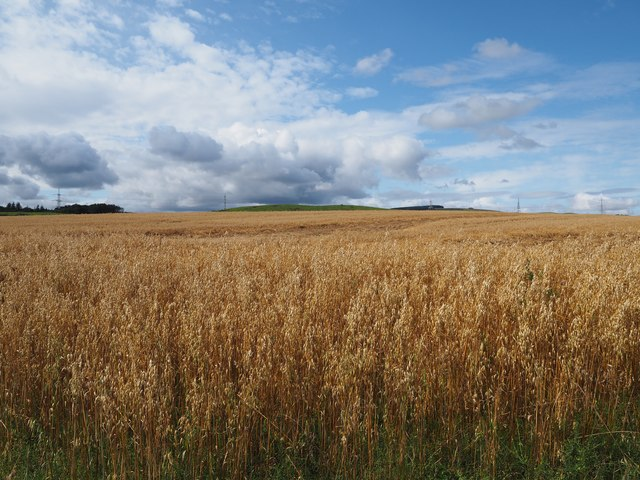 A Field of ripe Oats at Birnieknowes