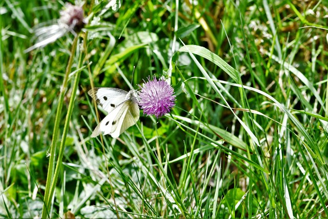 Fryerning, St. Mary's Church: Area laid aside for nature, Large White butterfly 2