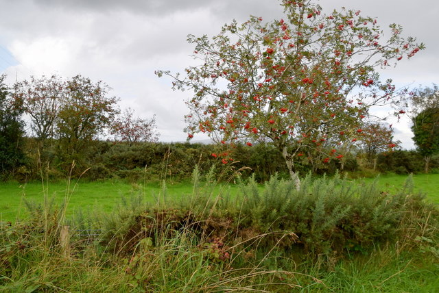 Rowan tree, Cullion