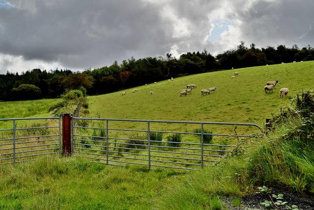 Sheep, Cullion