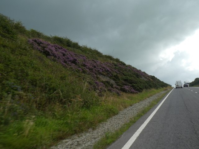Heather growing in the A39 cutting south of Cockport