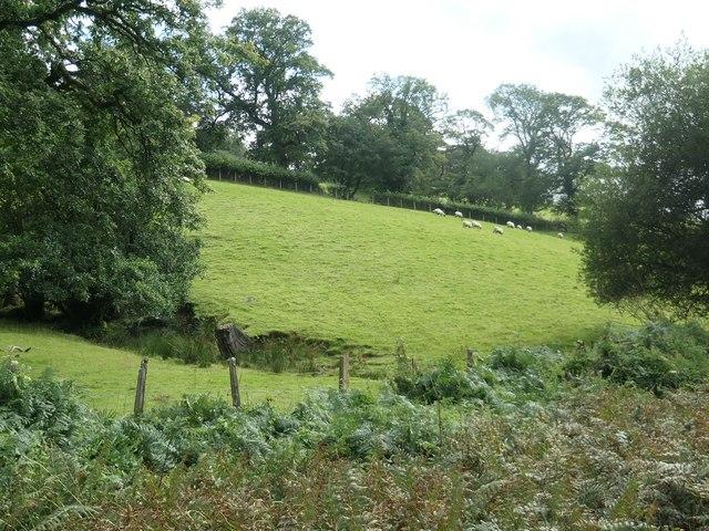 Sheep grazing on a hillside near Pentrepiod