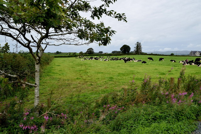 Herd of cattle, Beragh
