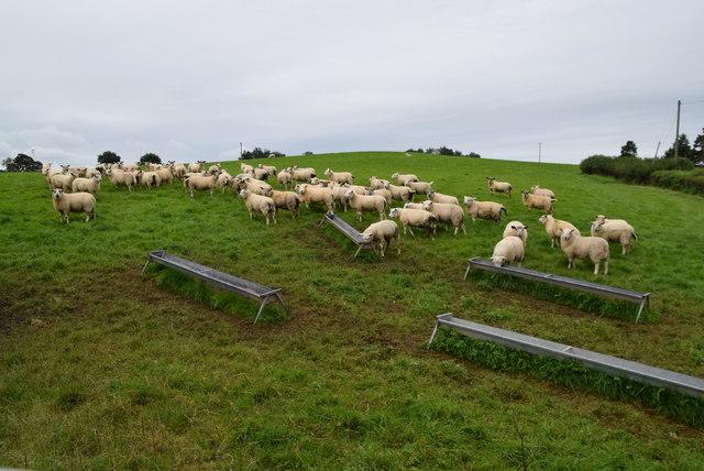 Sheep, Usnagh