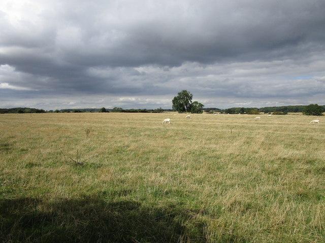 Sheep grazing near Pickworth