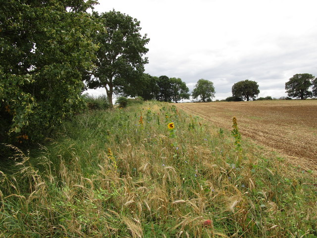 Sunflowers, cornflowers and mullein along a field edge