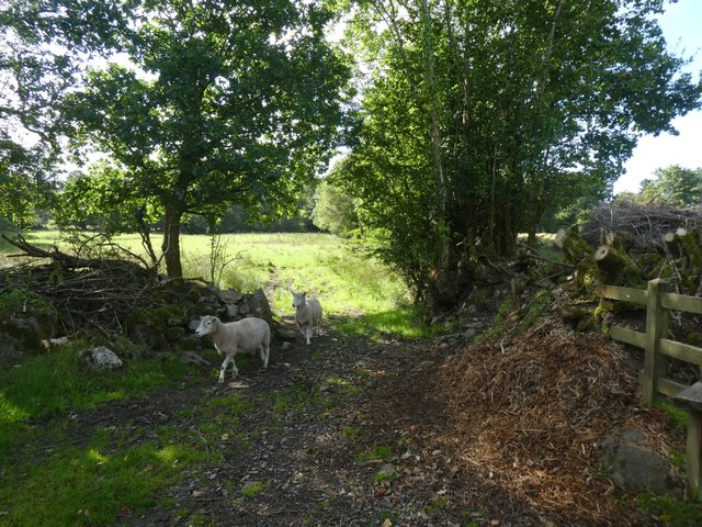 Sheep and old hedgebanks, Brookfield, Lustleigh